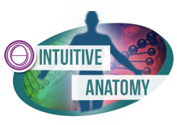 Intuitive Anatomy